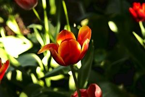 la tulipe 2018 057 as
