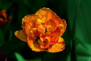 la tulipe 2017 028 as
