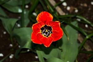 la tulipe 2017 011 as