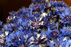 blossom 150 as