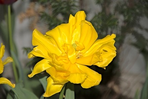 yellow flower 2010 01 as