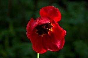 la tulipe 2016 45 as