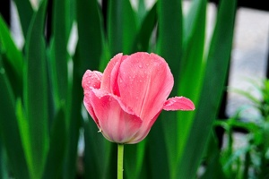 la tulipe 2016 29 as