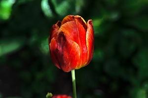 la tulipe 2016 39 as