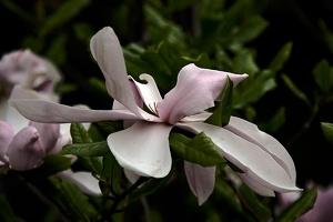 magnolia 2015 04 as