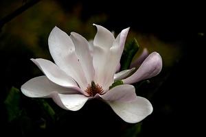 magnolia 2015 05 as
