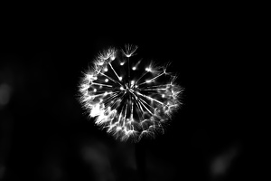 taraxacum 2020.07 as graphic bw