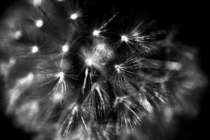 taraxacum 2020.08 as graphic bw