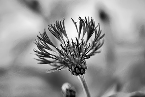 blossom.macro.2020.91 as graphic bw