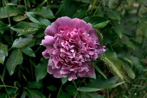 paeonia.mascula.2020.01 as
