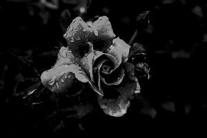 rosa centifolia 2020.12 as graphic bw