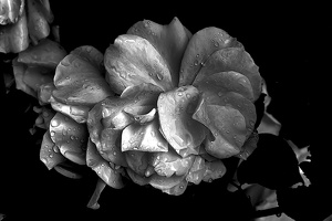 rosa centifolia 2020.14 as graphic bw