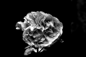 rosa centifolia 2020.17 as graphic bw