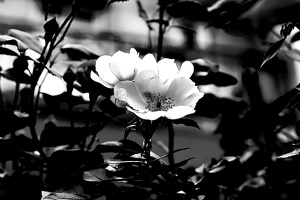 macro.blossom.2020.093 as graphic bw