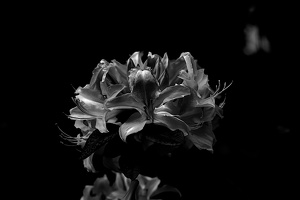 white rhododendron 2020.02 as graphic bw