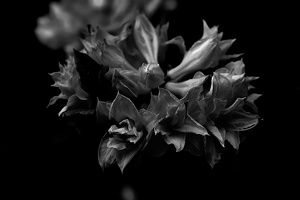 pink rhododendron 2020.02 as graphic bw