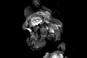 rosa centifolia 2020.24 as graphic bw