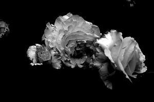 rosa centifolia 2020.23 as graphic bw