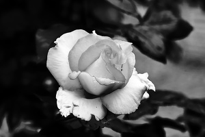 rosa centifolia 2020.19 as graphic bw