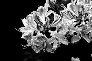 white rhododendron 2020.04 as look bw