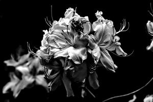 white rhododendron 2020.06 as look bw