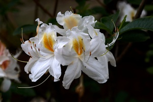 white rhododendron 2020.07 as
