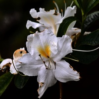 white rhododendron 2020.08 as