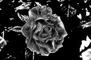 rosa centifolia 2020.29 as graphic bw