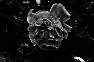 rosa centifolia 2020.28 as graphic bw