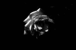 rosa centifolia 2020.31 as graphic bw