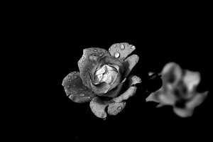 rosa centifolia 2020.32 as graphic bw